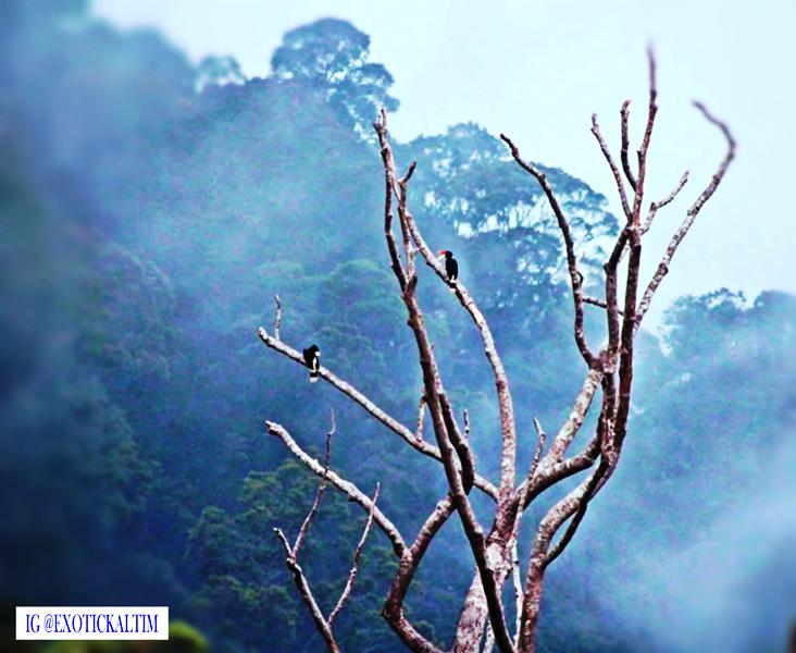 Burung Rongkang di alam Kalimantan. menjadi pariwisata IKN, yang terancam Karhutla