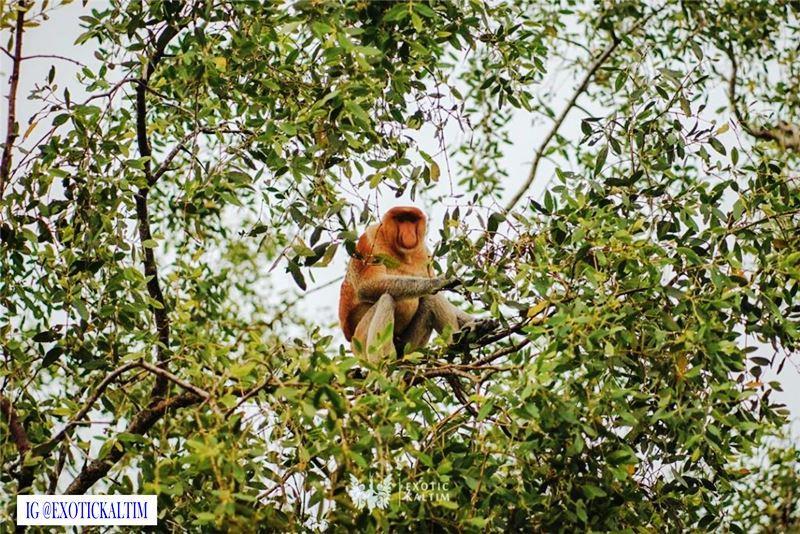Bekantan salah satu ikon fauna Kalimantan, Pariwisata IKN, yang jua terancam Karhutla