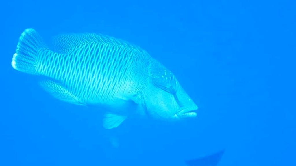 Ikan Napoleon muncul lagi di perairan Sumbar. (Dok. Loka Kawasan Konservasi Peraitan Nasional (LKKPN) Pekanbaru)